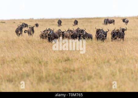 wildebeests feeding on grass during migration season in Maasai Mara, Kenya - Stock Photo