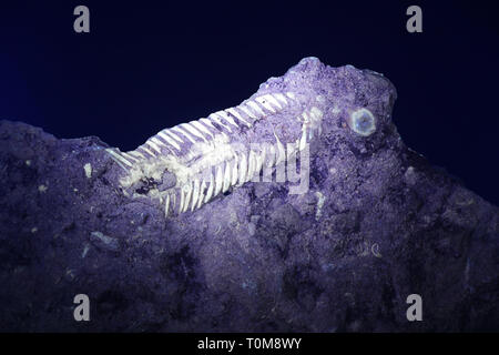 Silurian trilobite fossil from Saarenmaa, Estonia, photographed in ultraviolet light (365 nm) - Stock Photo