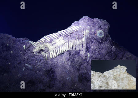 Silurian trilobite fossil from Saarenmaa, Estonia, photographed in ultraviolet light (365 nm).  Smaller image showing same sample in normal daylight. - Stock Photo