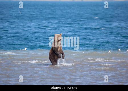 Bear standing fishing in water. Kuril lake. Kronotsky nature reserve. Kamchatka. Russia. - Stock Photo