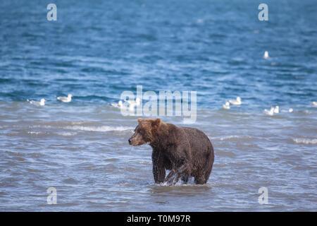 Portrait of brown wild bear fishing in Kuril lake.  Kronotsky nature reserve. Kamchatka. Russia. - Stock Photo