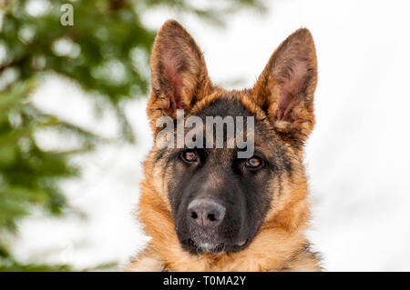 Portrait of a beautiful german shepherd puppy dog at winter. - Stock Photo