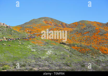 Lake Elsinore, CA / USA - March 16, 2019: In a wide view, a large crowd is shown visiting the orange poppy wildflower super bloom at Walker Canyon. Th - Stock Photo