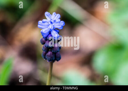 The flowers of a broad-leaved grape hyacinth (Muscari latifolium) Stock Photo