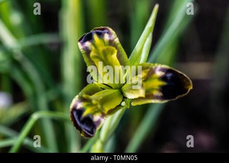 A snake's head iris (Iris tuberosa) - Stock Photo