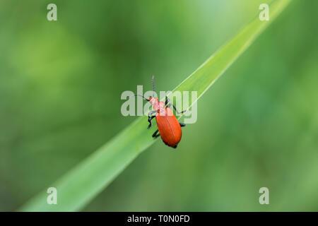 Cardinal Beetle; Pyrochroa serraticornis; Cambridgeshire; UK - Stock Photo