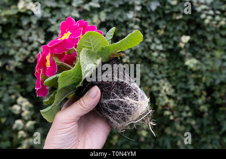 Potbound plant, primula  roots tightly bound as a result of having been left in small plantpot for too long. - Stock Photo