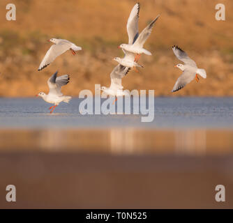 A flock of Black-headed Gulls (Chroicocephalus ridibundus) near the water. The adult black-headed gull has a brown head in the summer and a white head - Stock Photo