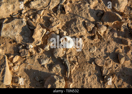 Israel, Negev desert plains, empty snail shells - Stock Photo