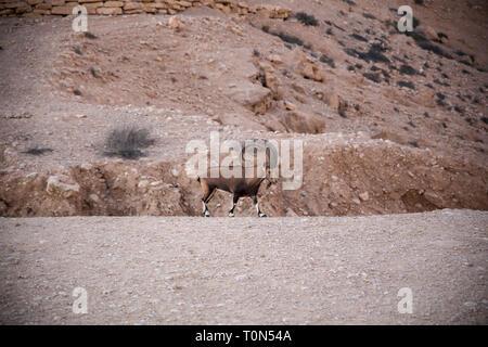 Impressive Male Nubian Ibex (Capra ibex nubiana AKA Capra nubiana). Photographed at Kibbutz Sde Boker, Negev Desert, Israel in September - Stock Photo