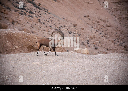 Impressive Male Nubian Ibex (Capra ibex nubiana AKA Capra nubiana). Photographed at Kibbutz Sde Boker, Negev Desert, Israel in September - Stock Photo