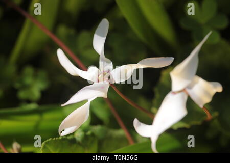Cyclamen persicum, the Persian cyclamen, is a species of flowering herbaceous perennial plant growing from a tuber, native to rocky hillsides, shrubla - Stock Photo