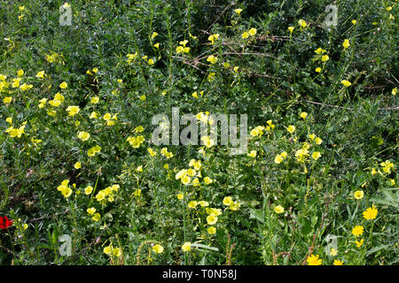 A field of Israeli wildflowers blooming in vibrant colours in spring. Photographed in Israel in March - Stock Photo