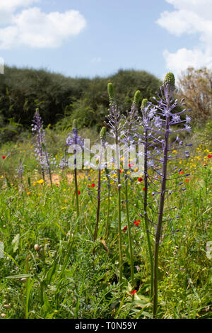 Scilla hyacinthoides (commonly known as Hyacinth Squill) is a geophyte, native to the Middle East. Photographed in Israel in March - Stock Photo