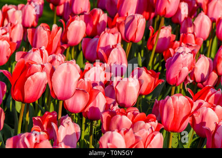 Istanbul, Turkey, 19 April 2018: Tulips in Emirgan - Stock Photo