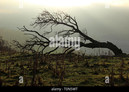 Storm damaged tree on the panorama above Llangollen Wales - Stock Photo