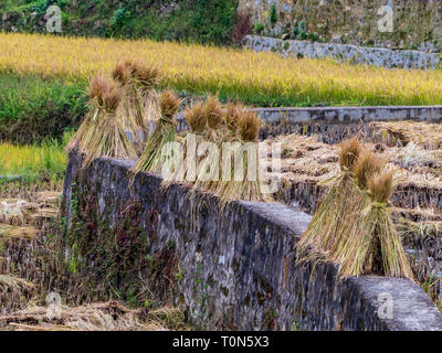 Harvested rice in the Rice Paddies, Yunnan, China - Stock Photo