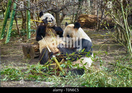 two lovely giant panda bear eating bamboo - Stock Photo