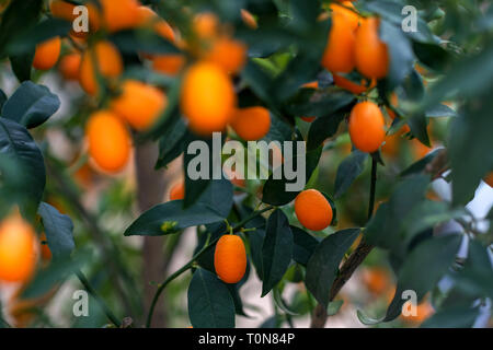 kumquat fruit (Citrus japonica) on a tree - Stock Photo