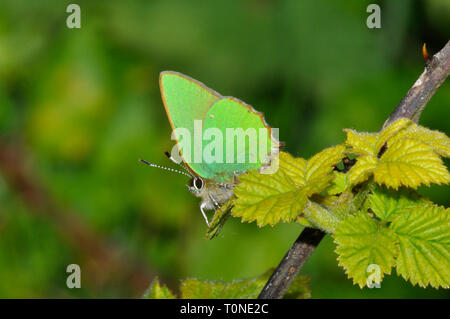 Green Hairstreak,'Callophrys rubi', butterfly, May and June, widespread resident, Wiltshire, UK - Stock Photo