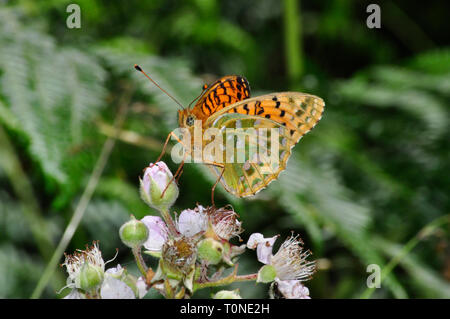 Dark Green fritillary butterfly,'Argynnis aglaja',showing the bright underwing pattern,July August,Devon,UK - Stock Photo