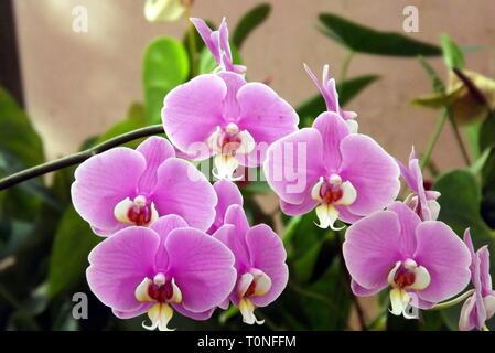 Exotic moth orchid flower at Mahabaleshwar, Maharashtra, India - Stock Photo