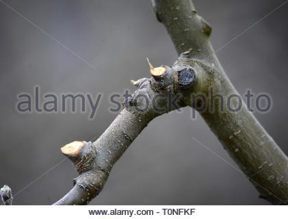 pruned apple branch on a tree , image of a - Stock Photo