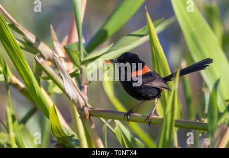 A Red-Backed Fairy-wren (Malurus melanocephalus) with a red feather in its beak, probably to attract a female. - Stock Photo