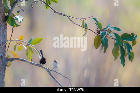 A female Red-Backed Fairy-wren (Malurus melanocephalus) looking at a male's behind. - Stock Photo