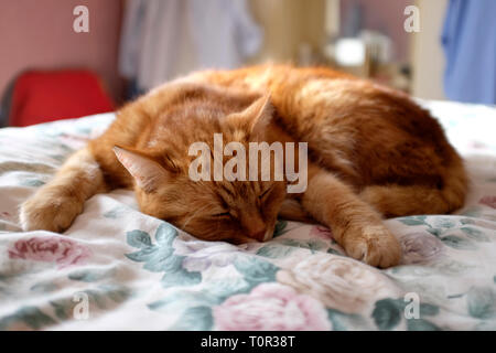 large,ginger,tom,cat,asleep,on,duvet,on,bed,England, - Stock Photo