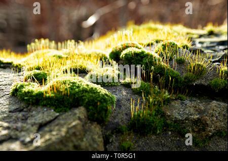 Nahaufnahme von Moos das von hinten von der Sonne beschienen wird auf einer Natursteinmauer. - Stock Photo