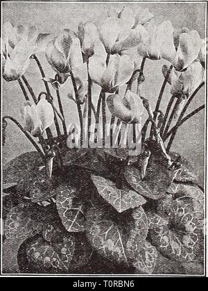 Dreer's autumn catalogue 1932 (1932) Dreer's autumn catalogue 1932  dreersautumncata1932henr Year: 1932  Shasta Daisy Alaska CerastlUm (Snow in Summer) PER pKT 1911 Tomentosum. A very pretty dwarf,- white-leaved edging plant, bearing small white flowers; hardy perennial. Splendid for rockery. Special pkt., 50 cts.. $0 IS Cheiranthus Very pretty dwarf hardy biennial plants, for early spring flowering sow in late summer. Splendid for the rockery. per pkt. 1915 Allionii {Siberian Wallflower). About 12 inches high with heads of brilliant orange flowers. J oz., 30 cts $0 10 1916 Linifolius (Alpine  - Stock Photo