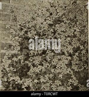 Clematis panlculata Clematis paniculata Japanese Virgin's Bower