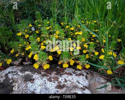 Ajuga chamaepitys plant rocks near Acre Haifa Israel. Mediterranean wild nature. Yellow bugle, or ground-pine blooming flowers close-up, green leaves - Stock Photo