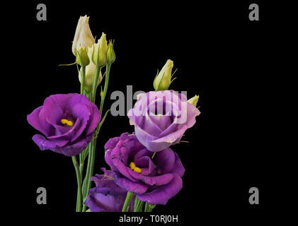 Fine art still life color macro of a bunch of violet blue lisianthus / showy prairie gentian / texas bluebell blossoms on black background - Stock Photo