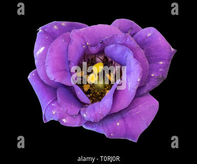 Fine art still life color macro of a a single isolated violet blue lisianthus / showy prairie gentian / texas bluebell blossom on black background - Stock Photo