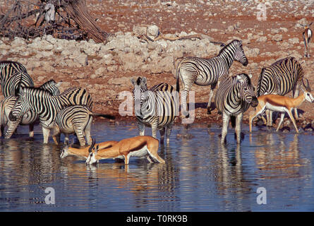 Group of springboks and zebras drink in a waterhole of the Etosha National Park in Namibia. - Stock Photo