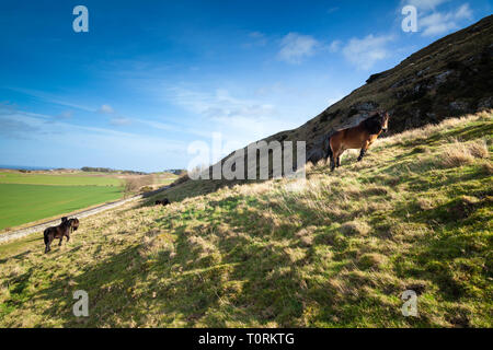 Semi feral Exmoor pony, Traprain Law, East Lothian, Scotland, UK - Stock Photo