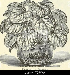 Dreer's garden book  1904 Dreer's garden book : 1904  dreersgardenbook1904henr Year: 1904  Amazonica. A splendid hothouse plant, blooming at various seasons. It sends up stalks bearing seeral pure white, star- shaped flowers, 4 inches across, delightfully fragrant, and is highly prized as a cut flower. Pot in light, rich soil, well drained ; w'ster freely in the grow ing season, giving a slight rest in fail. 25 cts. each; $250 per doz. EUPHORBIA. Jacquiniflora. An old favorite v inter-flov enng plant ihat has de- servedly again become very popu- lar, especially during the Christmas holidays
