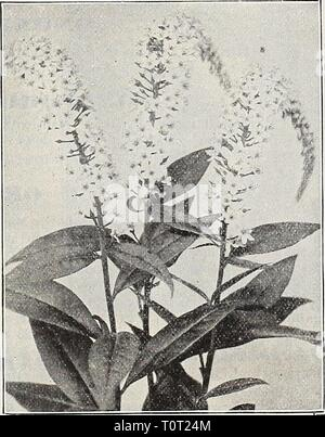 Dreer's 1909 garden book (1909) Dreer's 1909 garden book  dreers1909garden1909henr Year: 1909  LYCHNIS (Campion,. All of the Lychnis are of the easiest culture, thriving in any soil, and this, in ad- dition to their brightness, has brought them into high favor with lovers of hardy plants. Perhaps no class of plants has more common or popular names than the various varieties of Lychnis, of which the following is but a partial list: Campion, Devil's Flower, Gardener's Delight, Gardener's Eye, Jerusalem Cross, Lamp Flower, Maltese Cross, None Such, Ragged Robin, etc. L. Chalcedonica is also calle - Stock Photo