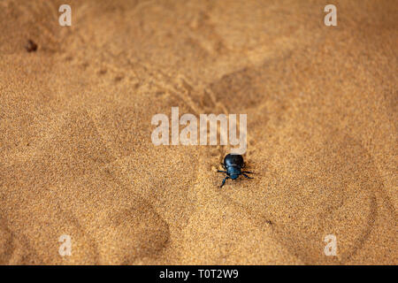 A lonely beetle in Kubuqi desert, in the Ordor highland of Inner Mongolia, China. - Stock Photo