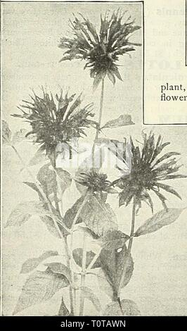 Dreer's garden book  1905 Dreer's garden book : 1905  dreersgardenbook1905henr Year: 1905  188 nn lUBII^APRHR -PHIIAKIiPHIA ^^- LYCHNIS (Campion). All of the Lychnis are of the easiest culture, and this, in addition to their brightness, has brought them into high favor with lovers of hardy plants. Perhaps no class of plants has more common or pop- ular names than the various varieties of Lychnis, of which the fol- lowing is but a partial list ; Campion, Devil's Flower, Gardener's Delight, Gardener's-Eye, Jerusalem Cross, Lamp-flower. Maltese Cross, None such. Ragged Robbin, etc. L. Chalcedonic - Stock Photo