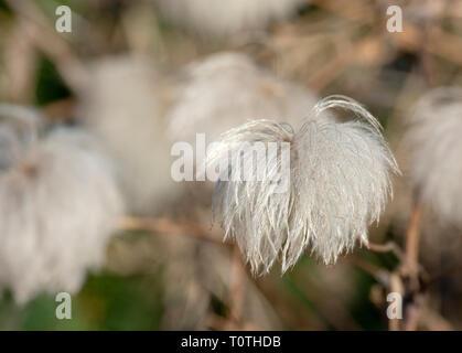 Old Man's Beard (Clematis vitalba) achenes - Stock Photo