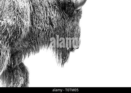 black and white close-up portrait of a bison walking while eating grass - Stock Photo