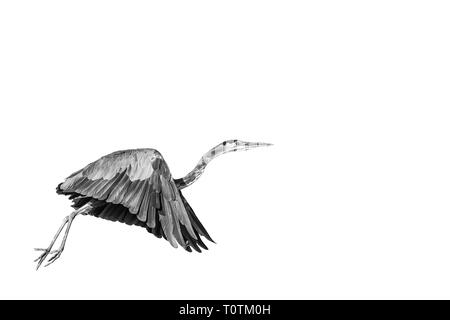 Black and White portrait of a Great Blue Heron in flight on a blank white background. - Stock Photo