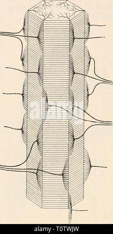 Elektrophysiologie (1895) Elektrophysiologie  elektrophysiolog00bied Year: 1895  Die elektrischen Fische. 751 so erscheint es erforderlich, Erst Du Bois-Reymoncl verdanken Avir die Schaffung einer ebensowohl durch theoretische Betrachtungen wie durch eingehende experimentelle Untersuchungen gesicherten Grundlage der Physiologie der Zitterfische, auf welcher alle späteren Forscher weiter bauten, so dass zur Zeit wenigstens die wesentlichsten Punkte als sichergestellt betrachtet werden können. Da alle neueren hierher gehörigen Arbeiten nur verständlich sind, wenn der Bau und die feineren Structu - Stock Photo