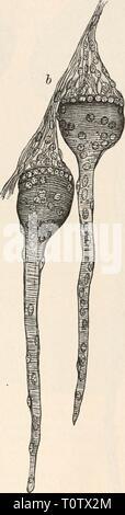 Elektrophysiologie (1895) Elektrophysiologie  elektrophysiolog00bied Year: 1895  Die elektrischen Fische. 771 Muskelfaser erkennen lässt, und schliesslich die Alveolarschicht (r, f), welche aus einer Wucherung des Sarkoplasmas und der (Muskel-) Kerne an der Basis der Keule hervorgeht, mit dem schwanzförmigen Anhang des atrophirenden Stieles der Platte als Rest der ursprüng- lichen Faser. Derselbe zeigt noch lange Andeutungen von Quer- i^'h. - Stock Photo