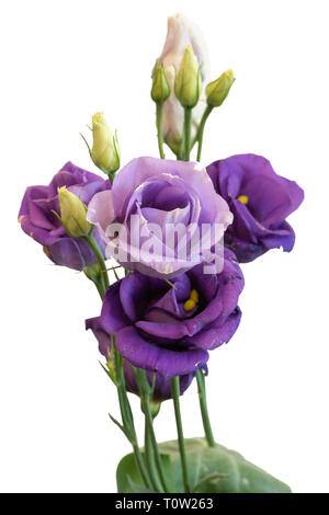 Fine art still life color macro of a bunch of violet blue lisianthus / showy prairie gentian / texas bluebell blossoms on white background - Stock Photo