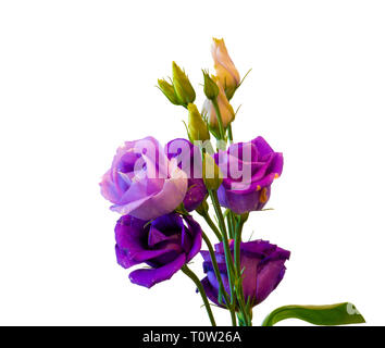 Fine art still life colorful macro of a bunch of violet blue lisianthus / showy prairie gentian / texas bluebell blossoms on white background - Stock Photo