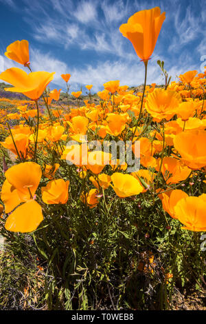 Super Bloom of poppies and other wildflowers at Lake Elsinore, California, USA March, 2019 - Stock Photo